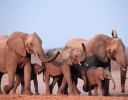 African elephants image from WWF