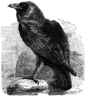 Ravens in Celtic and Norse Mythology | Transceltic - Home of the