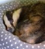 Badger sleeping in cat basket. Image from Scottish SPCA