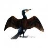 Cormorant image from RSPB